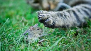 Toxoplasma gondii: przez niego koty uwodzą myszy, a ludzie mogą mieć myśli samobójcze
