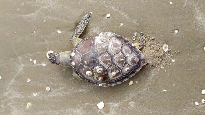 125 martwych żółwi na plaży