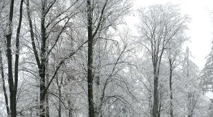Szadź w lesie w Korytnikach