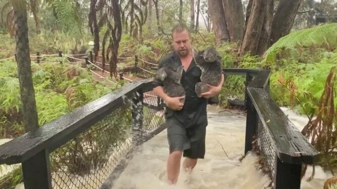 Ulewny deszcz zalał zoo w Australii. Musieli ewakuować koale